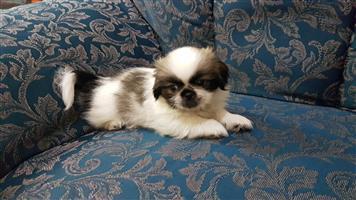 Cute Pekingese Puppy for Sale