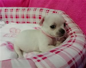 Lovely Chihuahua Puppies Available