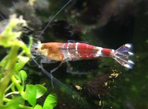 Crystal Red/Black Shrimp - CRS/CBS