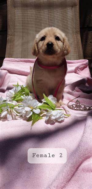 "Labrador white puppy""s"