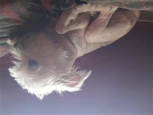 chinese crested babies