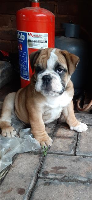 English bulldog male puppy