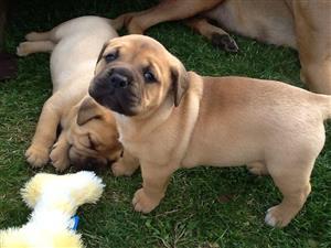 Beautiful BullMastiff Pups available