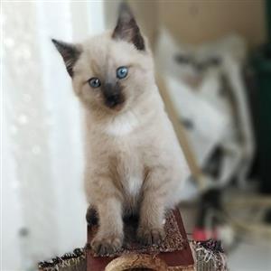 Last Siamese Burmese Kitten