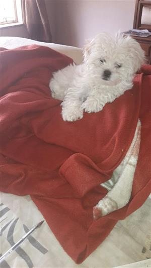 Maltese poodles for sale