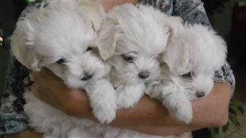 Morkie puppies = Maltese X Yorkie