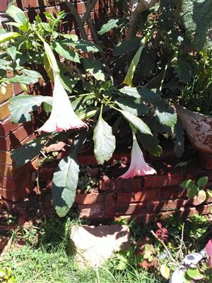 Datur plants for sale