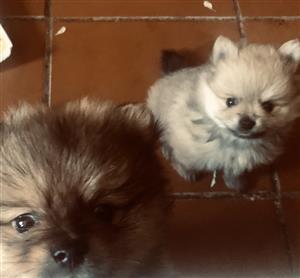 Toy Pom pups