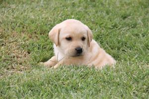 Pragtige opregte labrador hondjies
