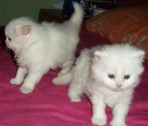 Sweet Persian Kittens Available!!