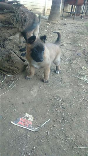 Pedigree Belgian Malinois for sale
