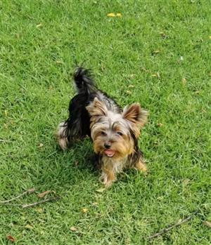 Stunning Registered Yorkie puppies available
