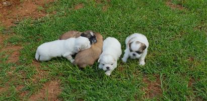 Pure bred pekingese puppies