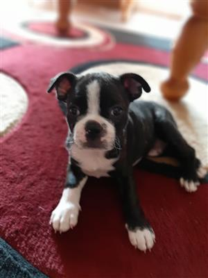 Boston Terrier mail for sale