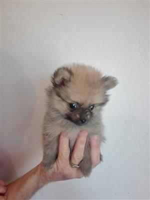 Miniature Pomeranians/Toypoms