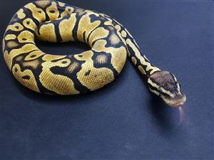 Juvenile Ball Pythons