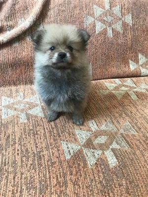 Miniature toy pom puppy