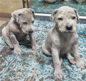 Merlequin Great Dane Puppies