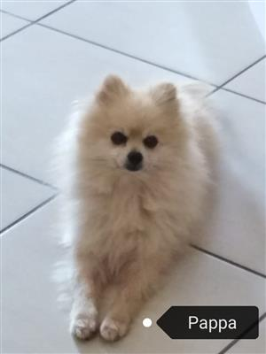 TOYPOM MALE PUP