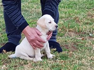 Registered Yellow Labrador Puppies for sale