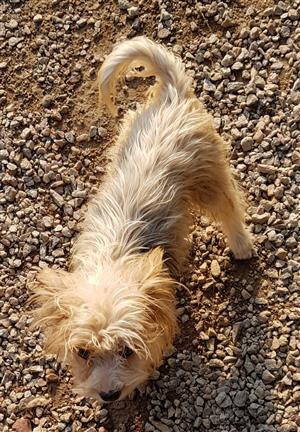 6 month old Ocean Pearl Yorkshire Terrier Male
