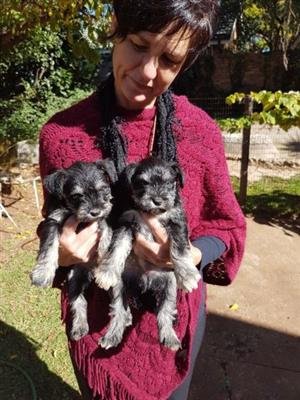 Schnauzer miniature female puppies for sale