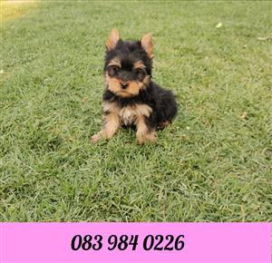 Female Miniature size Yorkie puppy available