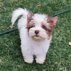 Exotic Chocoberry Yorkie puppy with blue eye