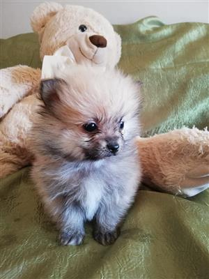 pomeranian in Dogs and Puppies in Pretoria | Junk Mail