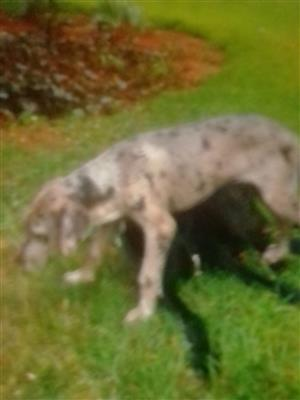 Registered Great Dane puppiies available