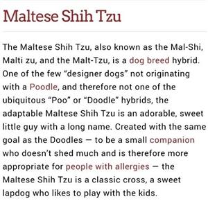 Malt-Tzu Puppies