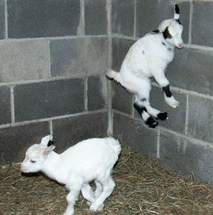Baby  Fainting Goats