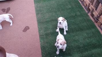 English Pointer Pups