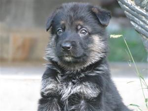 Beautiful German Shepard puppies