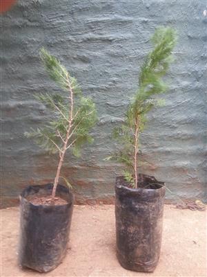 Conifer plants for sale