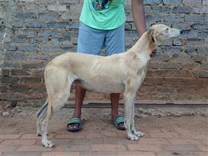 Greyhounds for sale