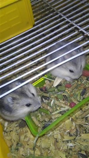 Russian Dwarf Hamsters up for adoption
