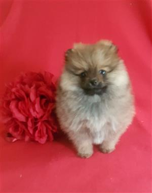 Female Toypom Small size short body legs and face