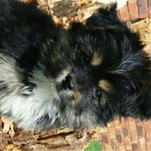 Morkie female puppy