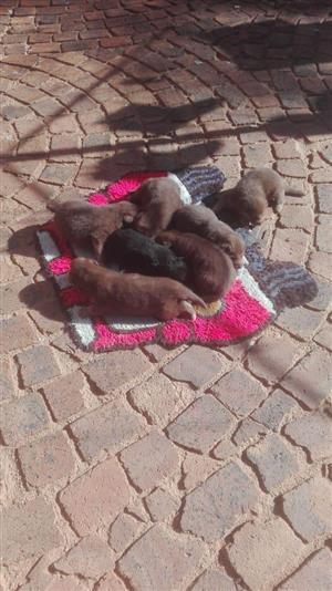 German Shepherds (Puppies)for Sale