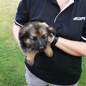 1 x male German Shepherd