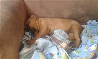 Bullmastif pup