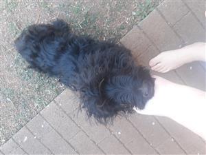 Swart scottish terrier puppy R1000