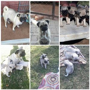 Beautiful Fawn Pug puppies for sale