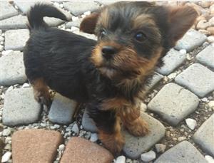 Yorkie Puppies - Adorable 8 Weeks Old