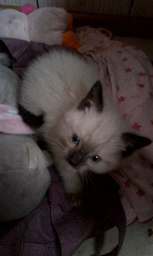 Ragdoll kittens one female and one male