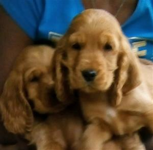 Purebred Golden Crocker Spaniels for sale