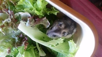 Cute Russian Dwarf Hamsters for sale