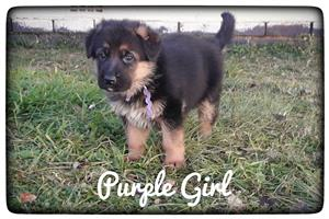Registered German Shepherd Female Puppie for sale