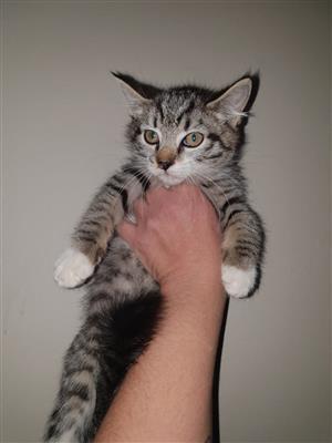 Maincoon Cross Kittens